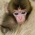 Baby Snow Monkey, Japan by John Shaw