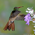 Buff-bellied Hummingbird by Anthony Mercieca