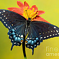 Eastern Black Swallowtail Butterfly by Millard H. Sharp