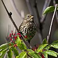 Fox Sparrow by Doug Lloyd