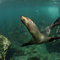 Galapagos Sea Lion (zalophus Wollebaeki by Pete Oxford