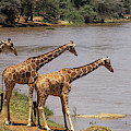 Girafe Reticulee Giraffa Camelopardalis by Gerard Lacz