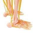 Human Foot Nervous System by Pixologicstudio/science Photo Library