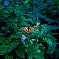 Monarch Butterflies by Carol Ailles