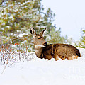 Mule Deer In Snow by Steve Krull
