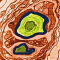 Nerve Cell, Tem by David M. Phillips
