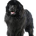 Newfoundland Dog by Jean-Michel Labat