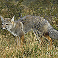 Patagonia Grey Fox by John Shaw