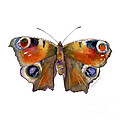 10 Peacock Butterfly by Amy Kirkpatrick