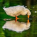Pekin Duck by Brian Stevens