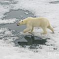 Polar Bear Crossing Ice Floe by John Shaw