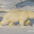 Polar Bear Walking On Ice by John Shaw