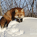 Red Fox by John Shaw