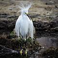 Snowy Egret by Bill Martin