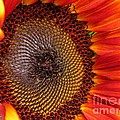 Sunflower From The Color Fashion Mix by J McCombie