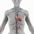 The Cardiovascular System Female by Science Picture Co