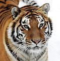 Tigre De Siberie Panthera Tigris Altaica by Gerard Lacz