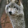 Timber Wolf by Ken Keener