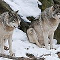 Timber Wolves by Wolves Only