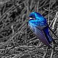 Tree Swallow by Brian Stevens