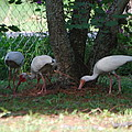 White Ibis by Robert Floyd