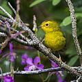 Wilsons Warbler by Doug Lloyd