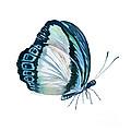 101 Perched Danis Danis Butterfly by Amy Kirkpatrick