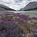 1049p Northern Sweetvetch Canada by NightVisions