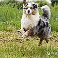 Australian Shepherd Dog by Jean-Michel Labat