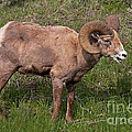 Big Horn Sheep Ram by Fred Stearns