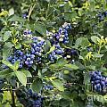 Blueberry Bush by John Greim