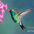 Broad-billed Hummingbird by Anthony Mercieca