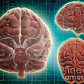 Conceptual Image Of Human Brain by Stocktrek Images