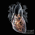Coronary Blood Supply by Science Picture Co