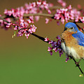 Eastern Bluebird (sialia Sialis by Richard and Susan Day