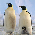 Emperor Penguins by Art Wolfe
