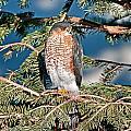 Hawk by Elijah Weber