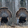 Jake Eastern Wild Turkeys by Linda Freshwaters Arndt