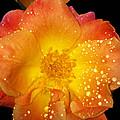 Joseph's Coat Rose by Kristen Pagliaro