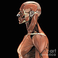 Muscles Of The Upper Body by Science Picture Co
