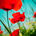 Poppy Field And Sky by Raimond Klavins