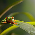 Red Eyed Tree Frog by Scott Linstead
