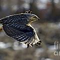 Rough-legged Hawk by J L Woody Wooden
