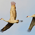 Sandhill Cranes (grus Canadensis by William Sutton