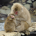 Snow Monkeys by John Shaw