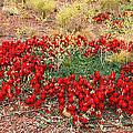 Sturt's Desert Pea Outback South Australia by Carole-Anne Fooks