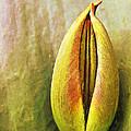 Tulip by Odon Czintos