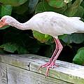 White Ibis by Ken Keener