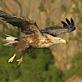 White-tailed Sea Eagle In Norway by Fritz Polking - Vwpics