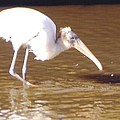 Wood Stork by Robert Floyd